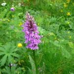 Dai nostri esploratori - un'orchidea alpina